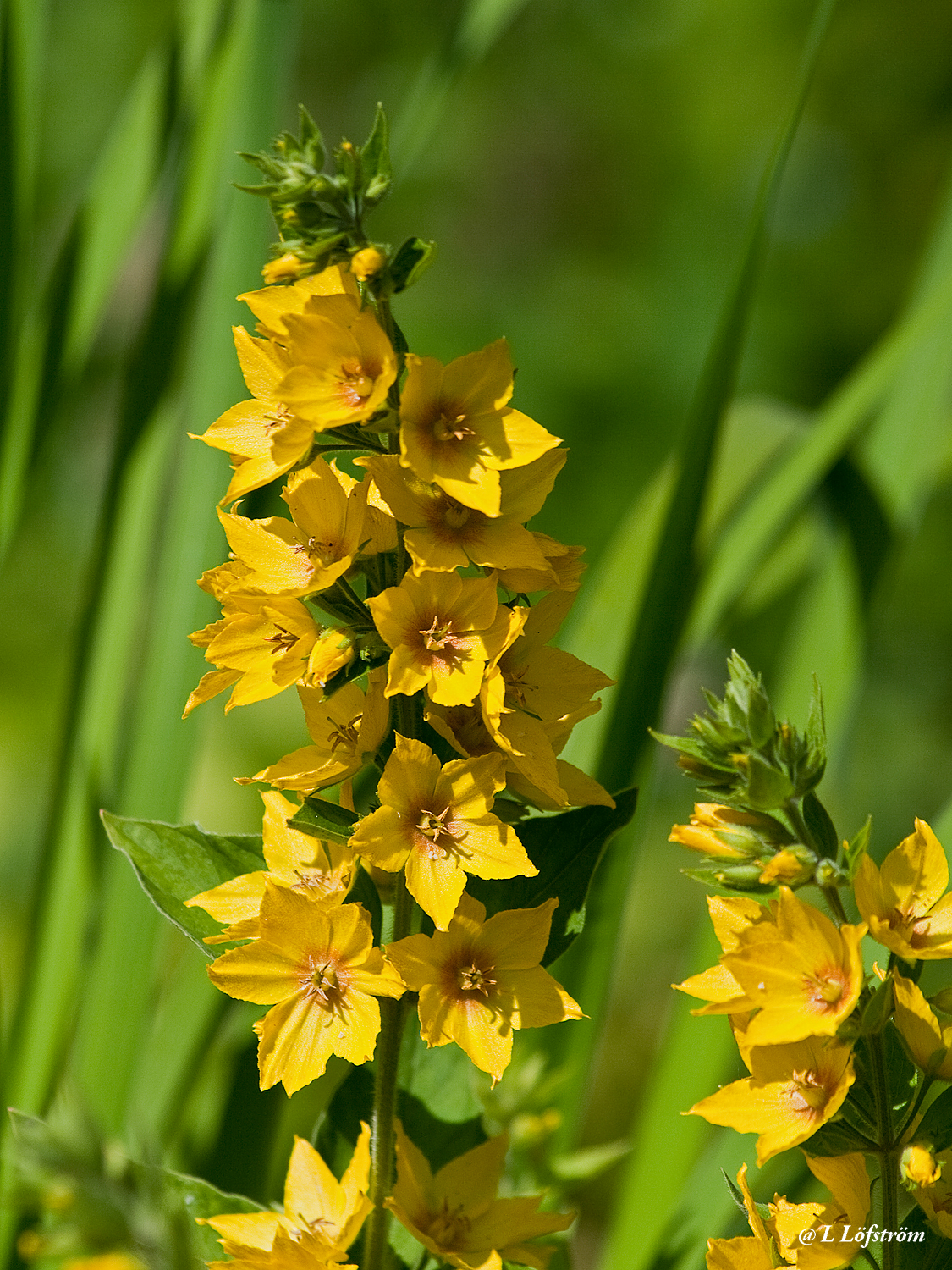 Other nature-Lysimachia