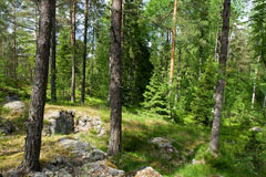 A typical mixed forest in south finland with pines, birches and spruces - Last view 2021-02-24