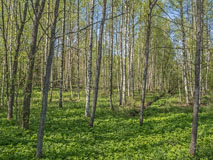 May greenness in a grove in Latokaski - Last view 2021-02-24